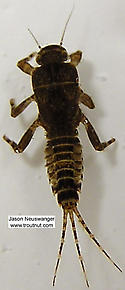 Ephemerella (Hendricksons, Sulphurs, PMDs) Mayfly Nymph
