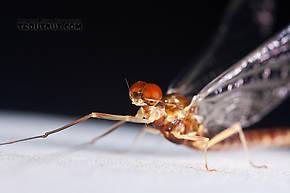 Ephemerella aurivillii  Mayfly Spinner