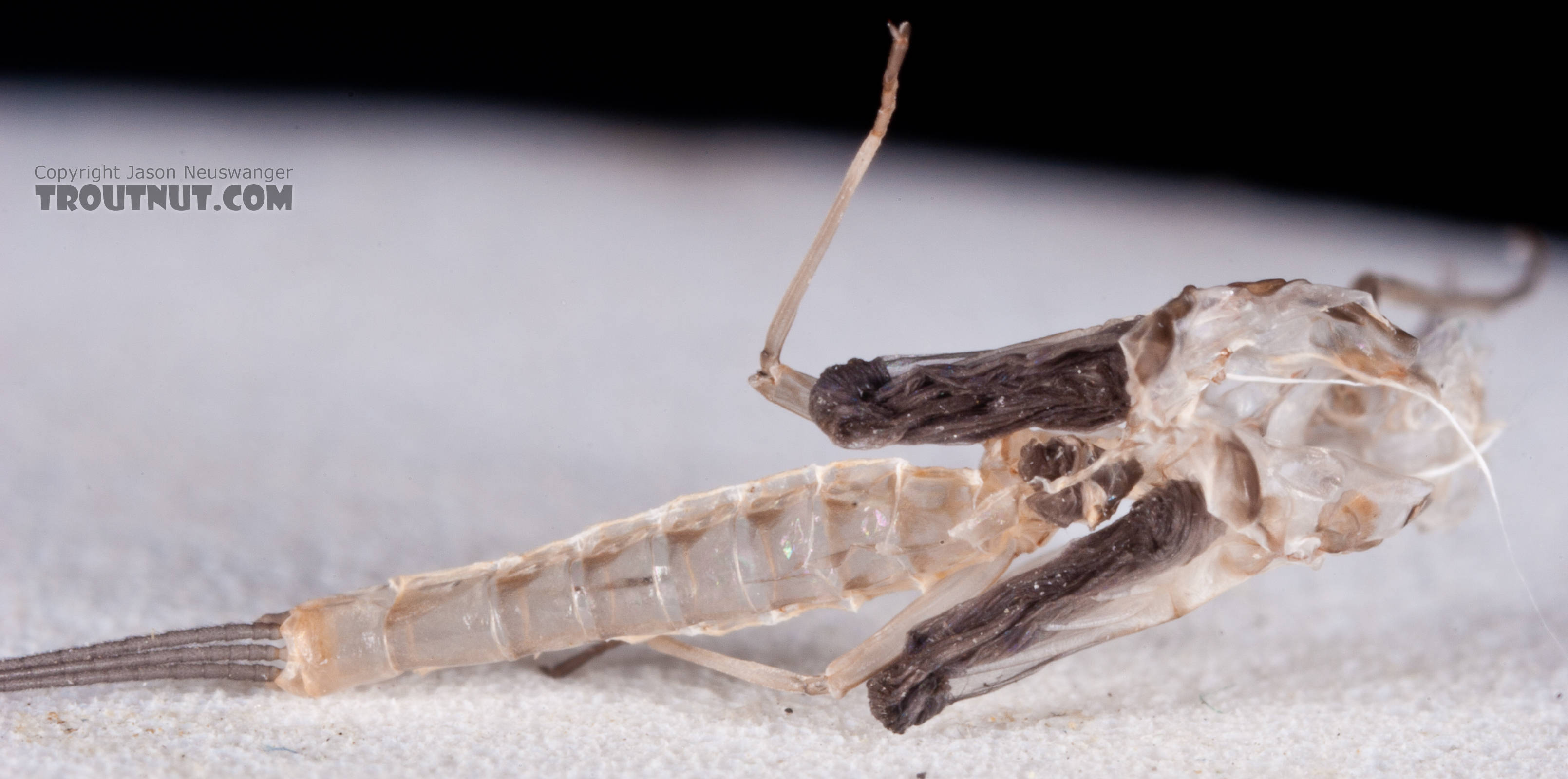 Here's the skin the dun shed as it molted into this spinner.  Male Ephemerella aurivillii Mayfly Spinner from Nome Creek in Alaska