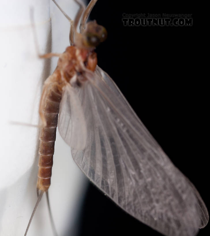 Male Cinygmula ramaleyi (Small Western Gordon Quill) Mayfly Dun from Nome Creek in Alaska