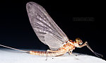Male Cinygmula ramaleyi (Small Western Gordon Quill) Mayfly Dun