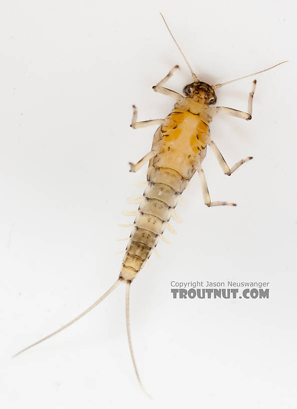 Male Baetidae (Blue-Winged Olives) Mayfly Nymph from the Gulkana River in Alaska