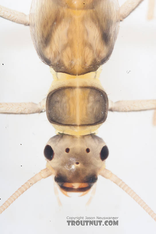 Suwallia (Sallflies) Stonefly Nymph from the Gulkana River in Alaska