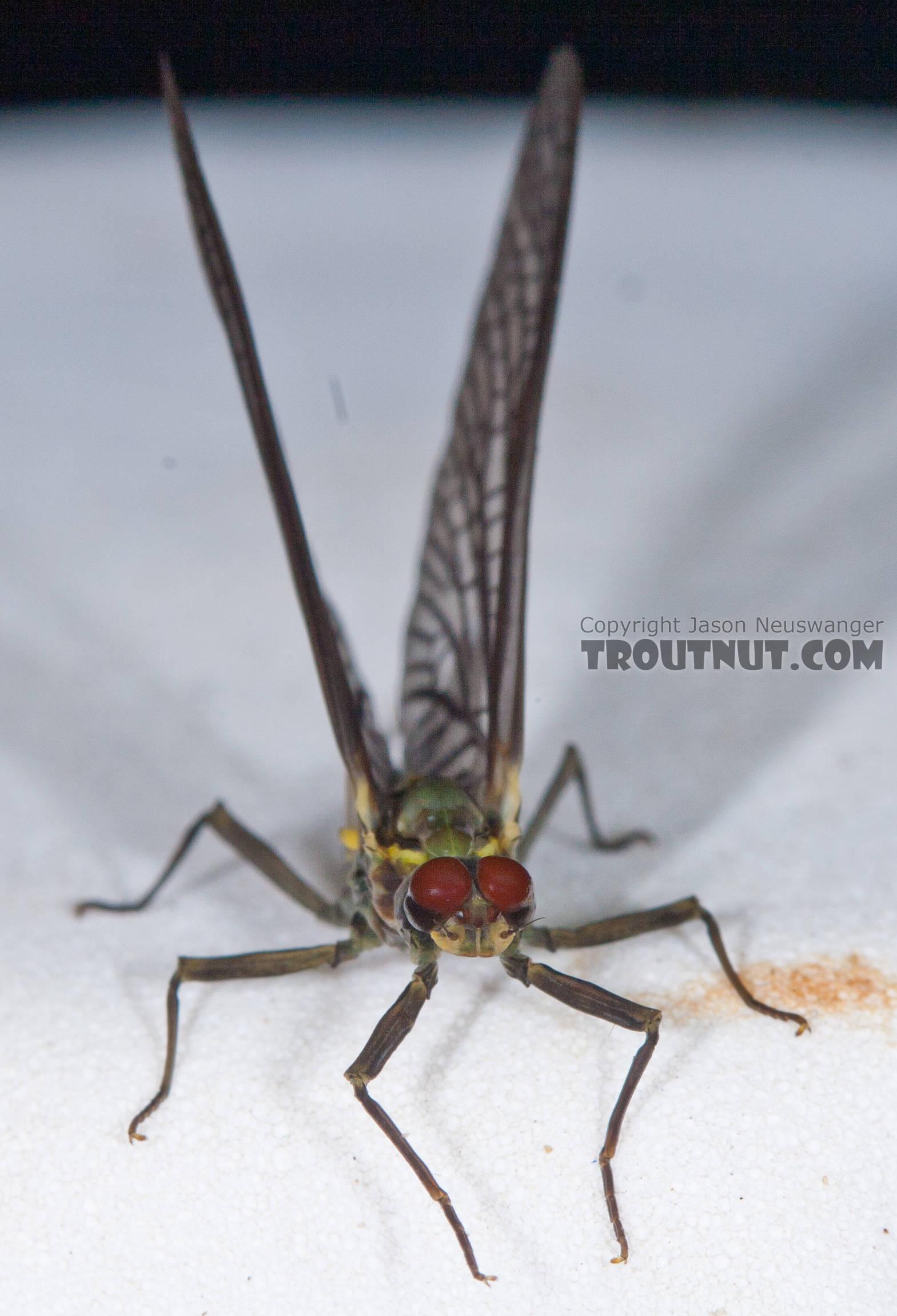 Male Drunella doddsii (Western Green Drake) Mayfly Dun from the Gulkana River in Alaska