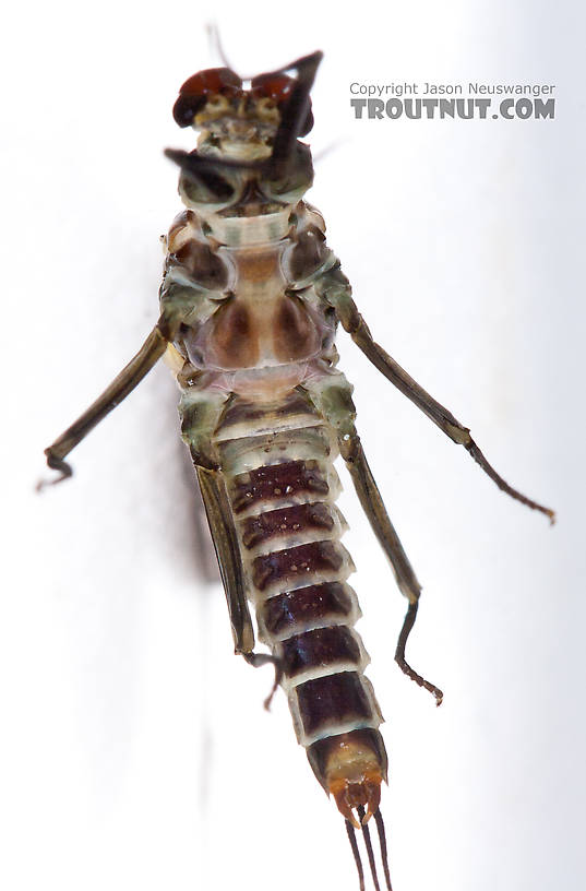 Male Drunella doddsii (Western Green Drake) Mayfly Dun from the Gulkana River in Alaska