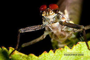 Male Drunella doddsii (Western Green Drake) Mayfly Dun