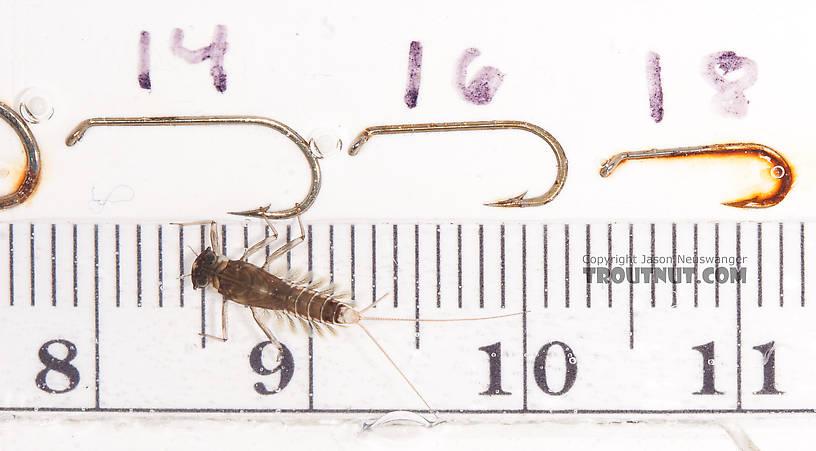 Cinygmula (Dark Red Quills) Mayfly Nymph from the Gulkana River in Alaska