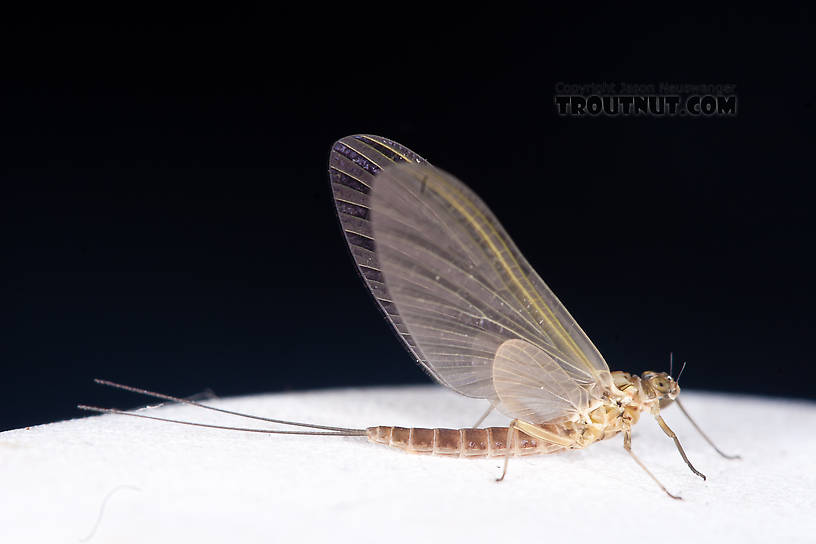 Female Cinygmula (Dark Red Quills) Mayfly Dun from the Gulkana River in Alaska
