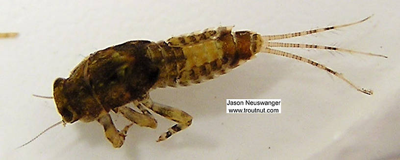 Ephemerella (Hendricksons, Sulphurs, PMDs) Mayfly Nymph from unknown in Wisconsin