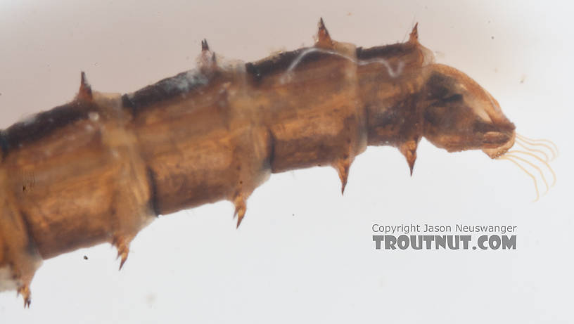 Chironomidae (Midges) Midge Pupa from the Gulkana River in Alaska