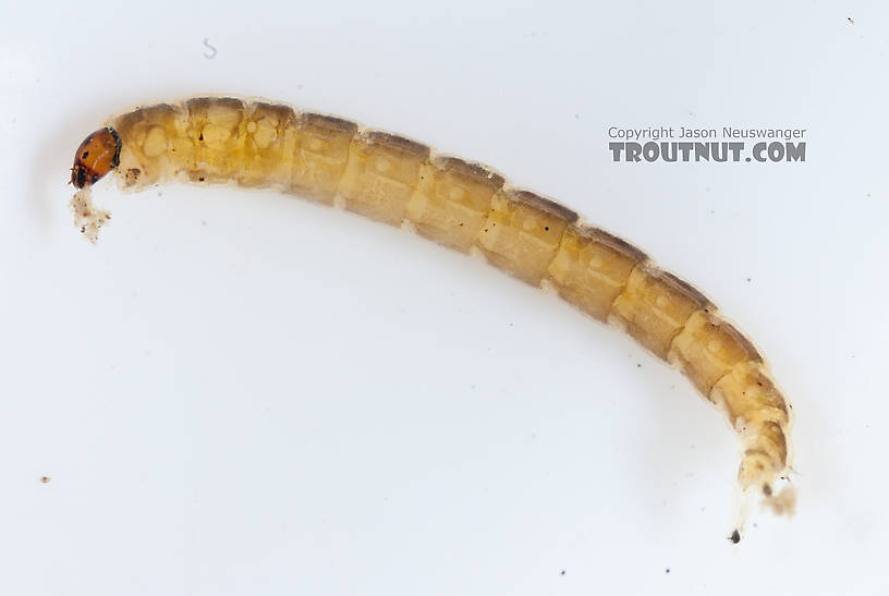 Chironomidae (Midges) Midge Larva from the Gulkana River in Alaska