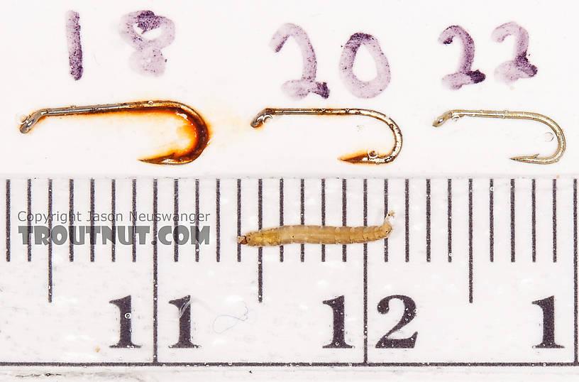 Chironomidae (Midges) Midge Larva from the Gulkana River in Alaska
