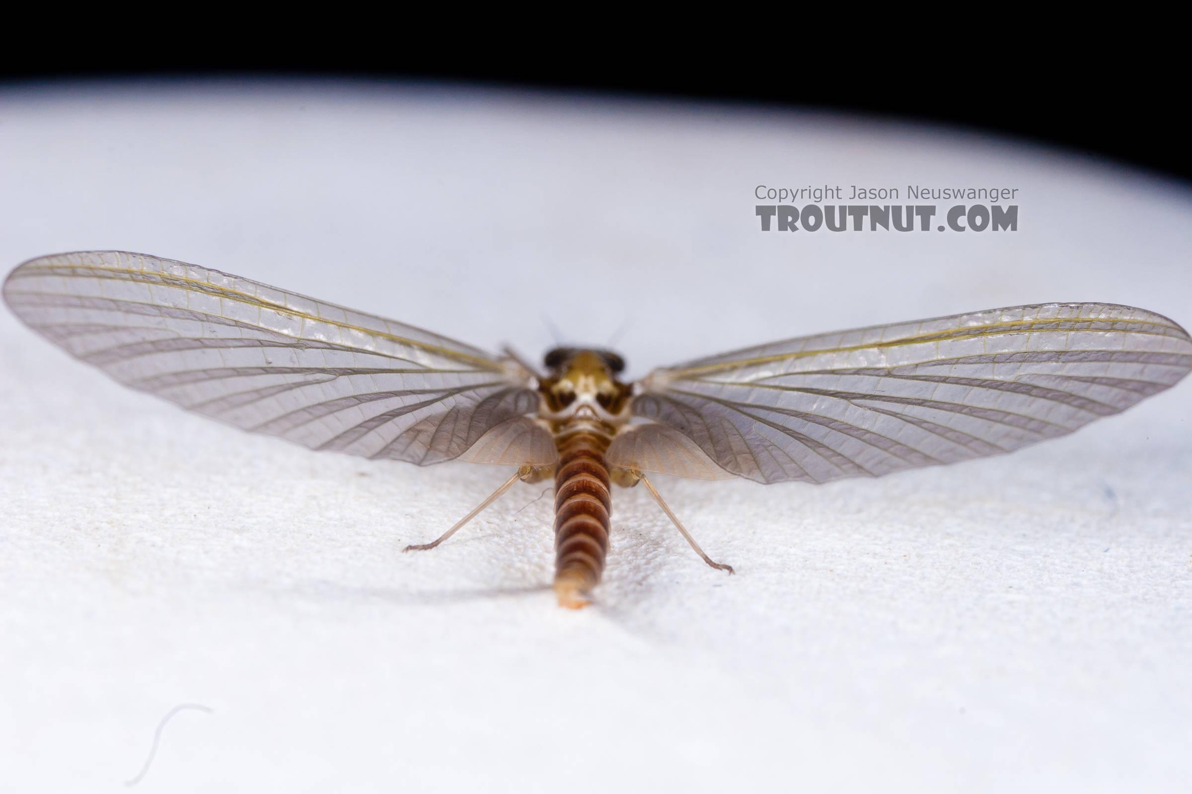 Female Cinygmula (Dark Red Quills) Mayfly Dun from the Gulkana River in Alaska