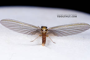 Female Cinygmula (Dark Red Quills) Mayfly Dun