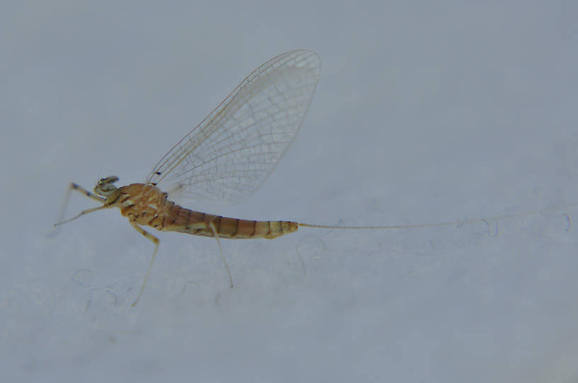 Female Epeorus longimanus (Slate Brown Dun) Mayfly Spinner from the Touchet River in Washington