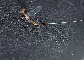 Male Acentrella turbida (Tiny Blue-Winged Olive) Mayfly Spinner