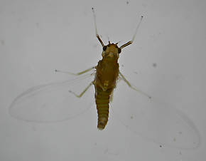 Female Acentrella turbida (Tiny Blue-Winged Olive) Mayfly Spinner