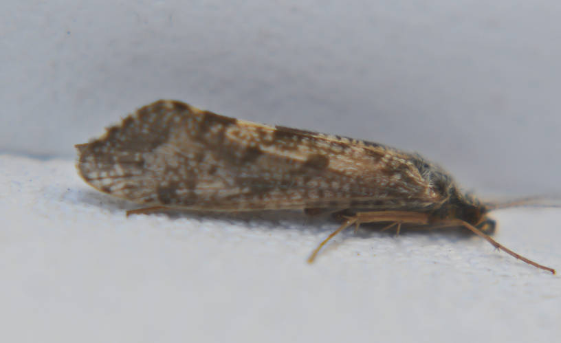 Hydropsychidae Caddisfly Adult from the Touchet River in Washington