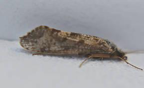 Hydropsychidae  Caddisfly Adult