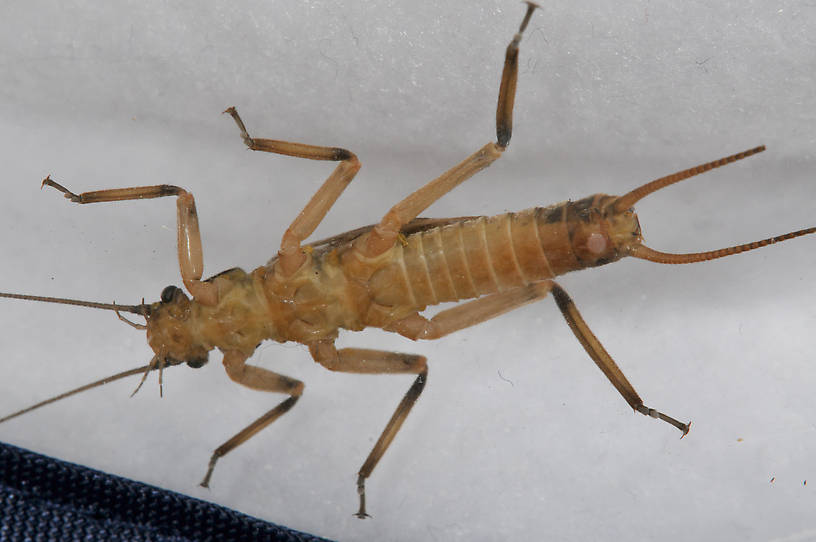 Male Claassenia sabulosa (Golden Stone) Stonefly Adult from the Touchet River in Washington
