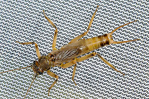 Male Claassenia sabulosa (Golden Stone) Stonefly Adult