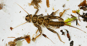 Calineuria californica (Golden Stone) Stonefly Nymph