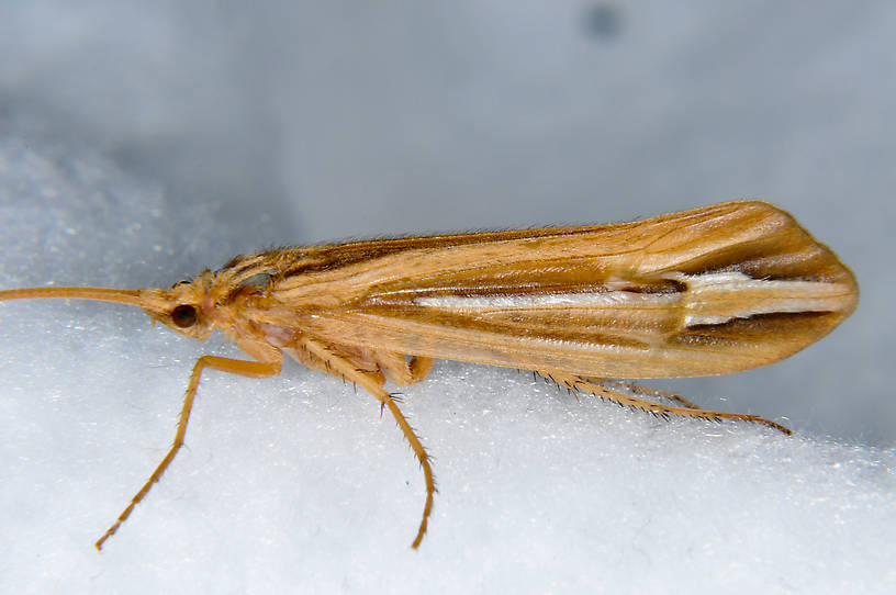 Female Hesperophylax designatus (Silver Striped Sedge) Caddisfly Adult from the Touchet River in Washington