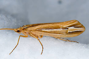 Hesperophylax designatus (Silver Striped Sedge) Caddisfly Adult