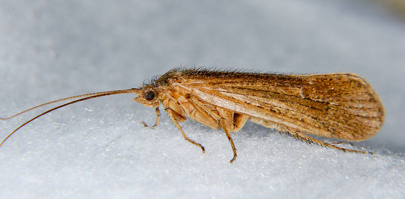 Female Limnephilus frijole (Summer Flier Sedge) Caddisfly Adult from the Touchet River in Washington