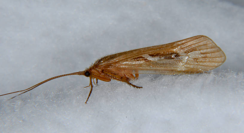 Limnephilus externus (Summer Flier Sedge) Caddisfly Adult from the Touchet River in Washington
