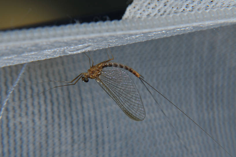 Male Cinygmula ramaleyi (Small Western Gordon Quill) Mayfly Adult from the Touchet River in Washington