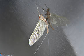 Male Cinygmula ramaleyi (Small Western Gordon Quill) Mayfly Adult