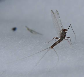Male Paraleptophlebia bicornuta (Mahogany Dun) Mayfly Spinner