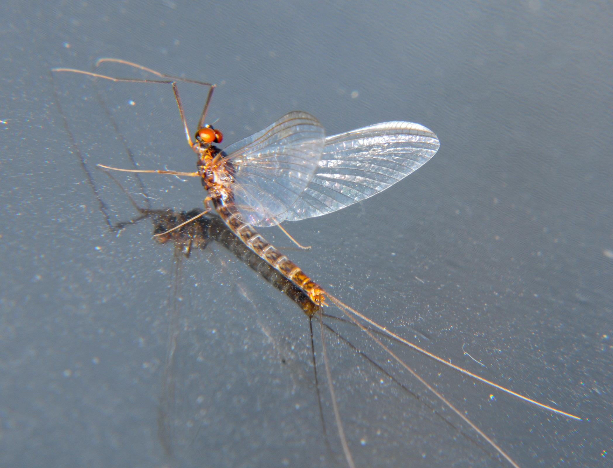 Male Paraleptophlebia bicornuta (Mahogany Dun) Mayfly Spinner from the Touchet River in Washington