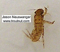 Ephemerellidae (Hendricksons, Sulphurs, PMDs, BWOs) Mayfly Nymph