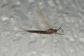 Female Paraleptophlebia bicornuta (Mahogany Dun) Mayfly Spinner