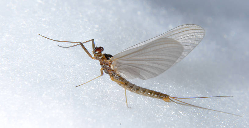 Male Paraleptophlebia bicornuta (Mahogany Dun) Mayfly Dun from the Touchet River in Washington