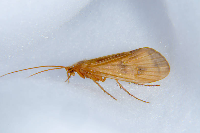 Onocosmoecus unicolor (Great Late-Summer Sedge) Caddisfly Adult from the Touchet River in Washington