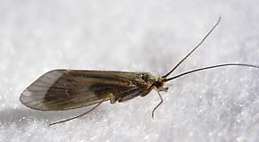 Female Brachycentrus americanus (American Grannom) Caddisfly Adult