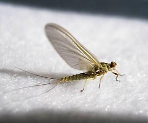 Ephemerella excrucians (Pale Morning Dun) Mayfly Dun