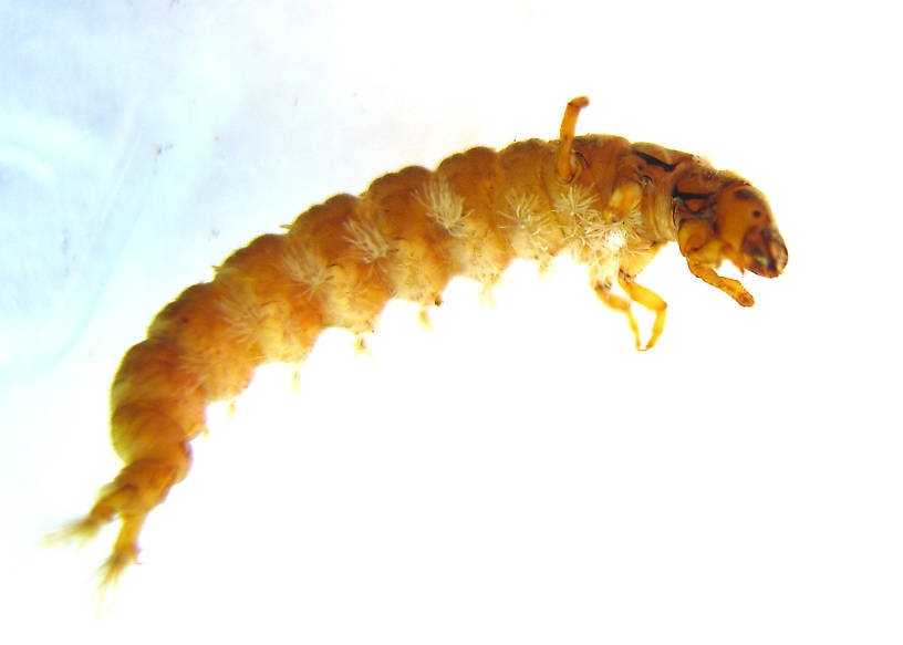 Hydropsyche californica (Spotted Sedge) Caddisfly Larva from the Lower Yuba River in California