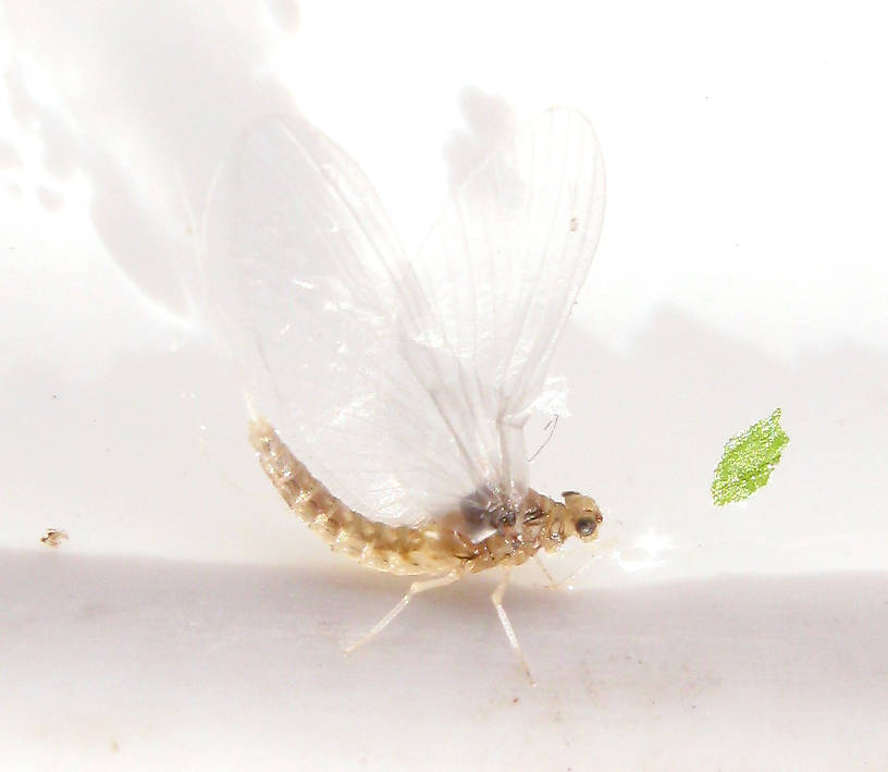 Female Anafroptilum album (Tiny Sulphur Dun) Mayfly Dun from the Fall River in California