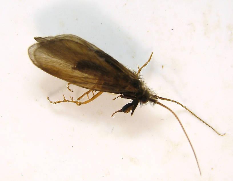 Male Lepidostoma podagrum (Little Brown Sedge) Little Brown Sedge Adult from the Fall River in California
