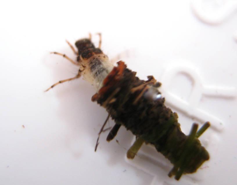 Lepidostoma podagrum (Little Brown Sedge) Little Brown Sedge Larva from the Fall River in California
