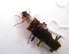 Lepidostoma podagrum (Little Brown Sedge) Little Brown Sedge Larva