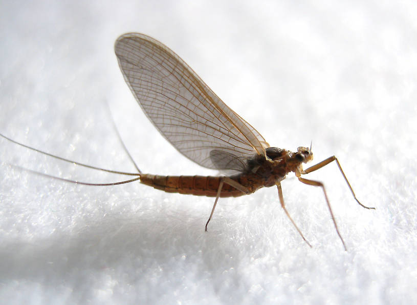 Female Paraleptophlebia debilis (Mahogany Dun) Mayfly Dun from the Fall River in California
