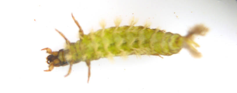 This photo shows the abdominal color in life.  Hydropsyche californica (Spotted Sedge) Caddisfly Larva from the Lower Yuba River in California