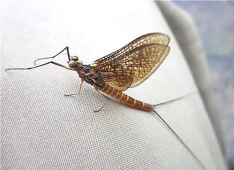 Male Litobrancha recurvata (Dark Green Drake) Mayfly Dun from the Au Sable River (Mainstream) in Michigan