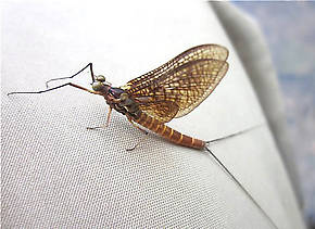 Male Litobrancha recurvata (Dark Green Drake) Mayfly Dun