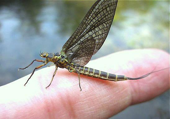 Female Litobrancha recurvata (Dark Green Drake) Mayfly Dun from the Au Sable River (Mainstream) in Michigan